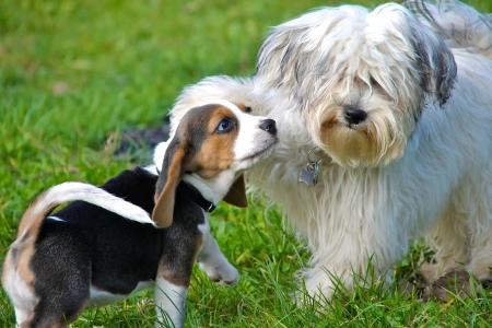 20690399 - a havanese and a beagle puppy playing in the wild on a green meadow