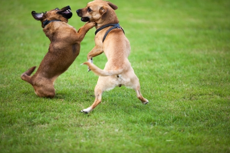 21550903 - two dogs are fighting together for fun