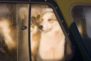 2467497 - hunting dogs looking through a misted car window