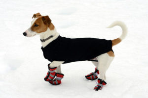 25098199 - cute little terrier wearing snow shoes on all four paws for protection and a warm coat against the cold winter weather standing on fresh snow looking alertly off to the right