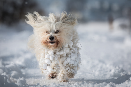 36441924 - a small white havanese with lots of snow in fur ball.