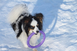 40884924 - dog of breed a spitz with a violet ring in teeth on snow in the winter