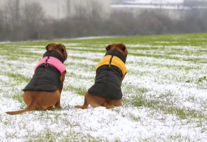 50993444 - dogue de bordeaux in the vest. playing in the snow