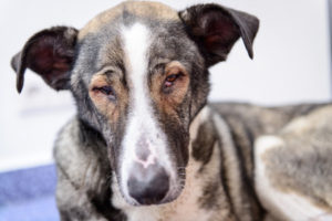 53906751 - sick homeless dog with eye disease in a veterinary clinic