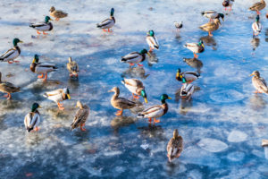 54223315 - wild ducks on the lake ice in the spring in city park.