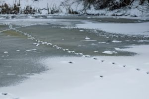54799871 - track from animal in frozen pond at park in winter, sofia, bulgaria